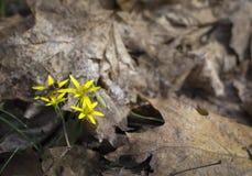 Bij op gele bloemen in de lentebos Stock Foto