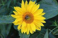 Bij op gele zonnebloem royalty-vrije stock afbeeldingen