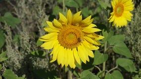 Bij op gele zonnebloem royalty-vrije stock foto