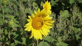 Bij op gele zonnebloem stock foto