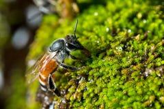 Bij op groen mos Royalty-vrije Stock Foto's