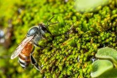 Bij op groen mos Royalty-vrije Stock Foto