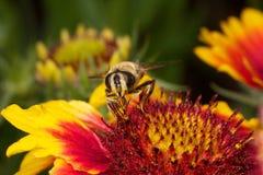 Bij op kleurrijke bloem Royalty-vrije Stock Foto