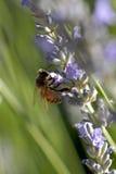 Bij op lavendar Royalty-vrije Stock Afbeelding