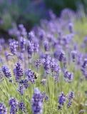 Bij op lavendel Royalty-vrije Stock Foto's