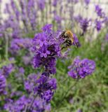 Bij op lavendel Royalty-vrije Stock Fotografie