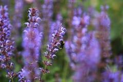 Bij op lavendel Royalty-vrije Stock Afbeeldingen