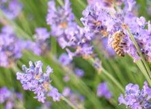 Bij op lavendel stock afbeeldingen