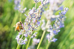 Bij op lavendel Royalty-vrije Stock Foto