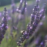 Bij op lavendel, de Provence royalty-vrije stock fotografie