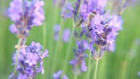 Bij op lavendelbloemen stock videobeelden