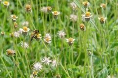 Bij op lotusbloem die waterlelie in de tuin Royalty-vrije Stock Afbeeldingen