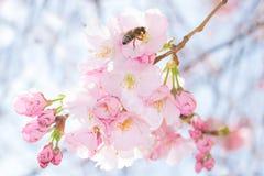 Bij op pastelkleur roze bloemen van boom van de de lente de tot bloei komende appel royalty-vrije stock afbeeldingen