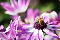 Bij op purpere bloem Royalty-vrije Stock Fotografie