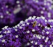 Bij op purpere bloem Stock Afbeeldingen