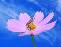 Bij op purpere bloem Royalty-vrije Stock Afbeeldingen