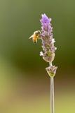 Bij op purpere lavendel Royalty-vrije Stock Afbeeldingen
