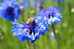 Bij op purpere wildflower Royalty-vrije Stock Foto's