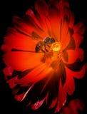 Bij op rode bloem Stock Foto