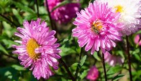 Bij op rode bloemen royalty-vrije stock fotografie