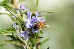 Bij op Rosemary bloem royalty-vrije stock foto