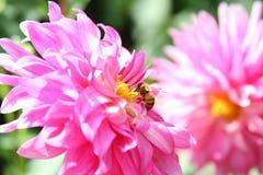 Bij op roze bloem Stock Foto