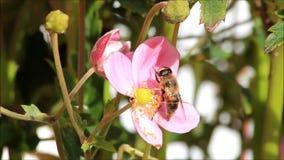 Bij op roze bloem stock video