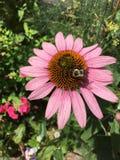 Bij op roze bloem Stock Foto's