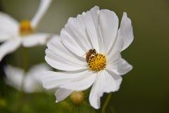 Bij op wildflower Stock Afbeeldingen