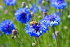 Bij op wildflower Stock Foto