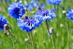 Bij op wildflower Royalty-vrije Stock Afbeelding