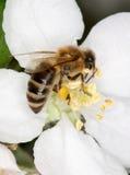 Bij op witte bloem Stock Foto's