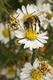 Bij op witte bloem bij middag Stock Afbeeldingen