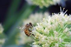 Bij op witte bloem die stuifmeel verzamelen stock foto's