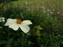 Bij op witte bloem in tuin Stock Foto's
