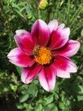 Bij op witte en rode bloem Stock Foto's