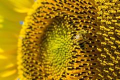 Bij op zonnebloem Stock Foto
