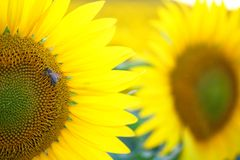 Bij op zonnebloem Royalty-vrije Stock Fotografie