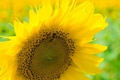 Bij op zonnebloem Stock Foto's