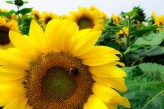 Bij op zonnebloem Stock Fotografie