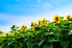Bij op zonnebloem Royalty-vrije Stock Afbeelding