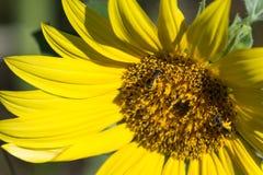 Bij op zonnebloem Royalty-vrije Stock Afbeeldingen