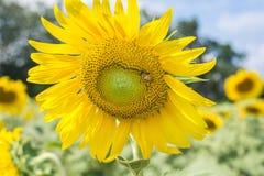 Bij op zonnebloemclose-up Stock Afbeeldingen