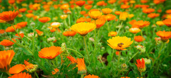 Bij over de bloem Stock Afbeeldingen