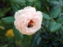Bij in roze pioen Stock Foto's
