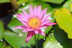 Bij in Roze waterleliebloem [lotusbloem] Stock Foto