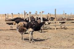 Bij struisvogellandbouwbedrijf Stock Foto's