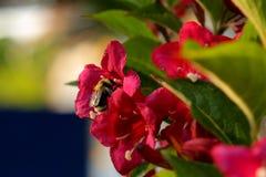 Bij in stuifmeel zuigende nectar wordt behandeld in een bloem die Stock Afbeeldingen