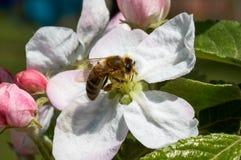 Bij in tot bloei komende appelboom Het werk bij Royalty-vrije Stock Fotografie