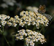 Bij versus Vlinder Royalty-vrije Stock Foto